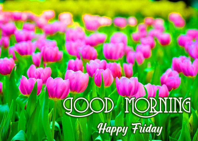 Colorful Tulips Good Morning Happy Friday Wallpaper