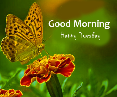 Cute Butterfly on Flower with Good Morning Happy Tuesday Wish