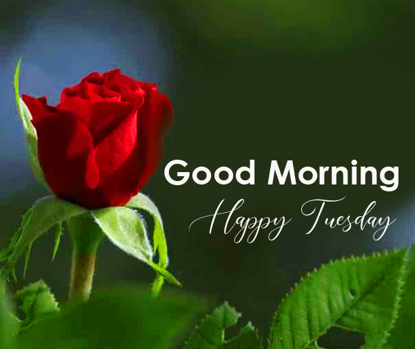 Good Morning Happy Tuesday Red Rose Image