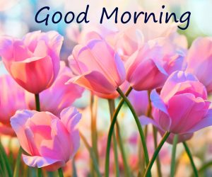 Spring Pink Tulips with Good Morning Wish