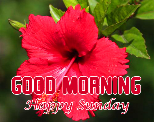Hibiscus Good Morning Happy Sunday Picture