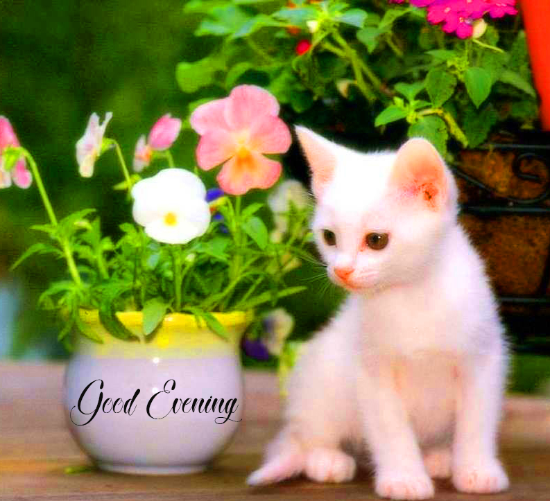 Cat Lovely Good Evening Image