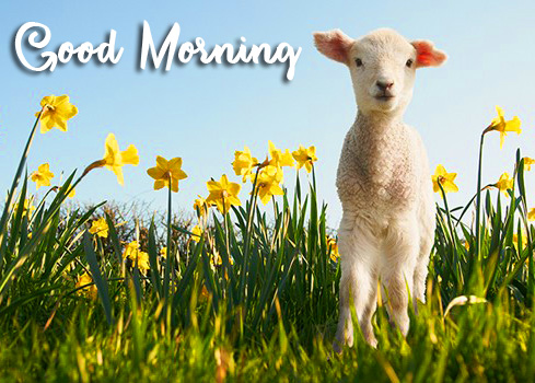 Good Morning Flowers and Sheep Picture