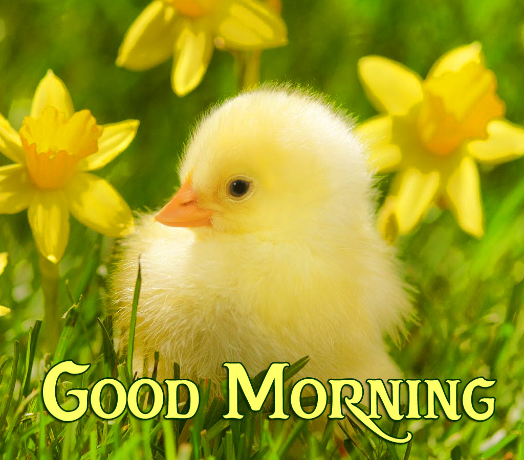Lovely Flowers and Chick Good Morning Pic