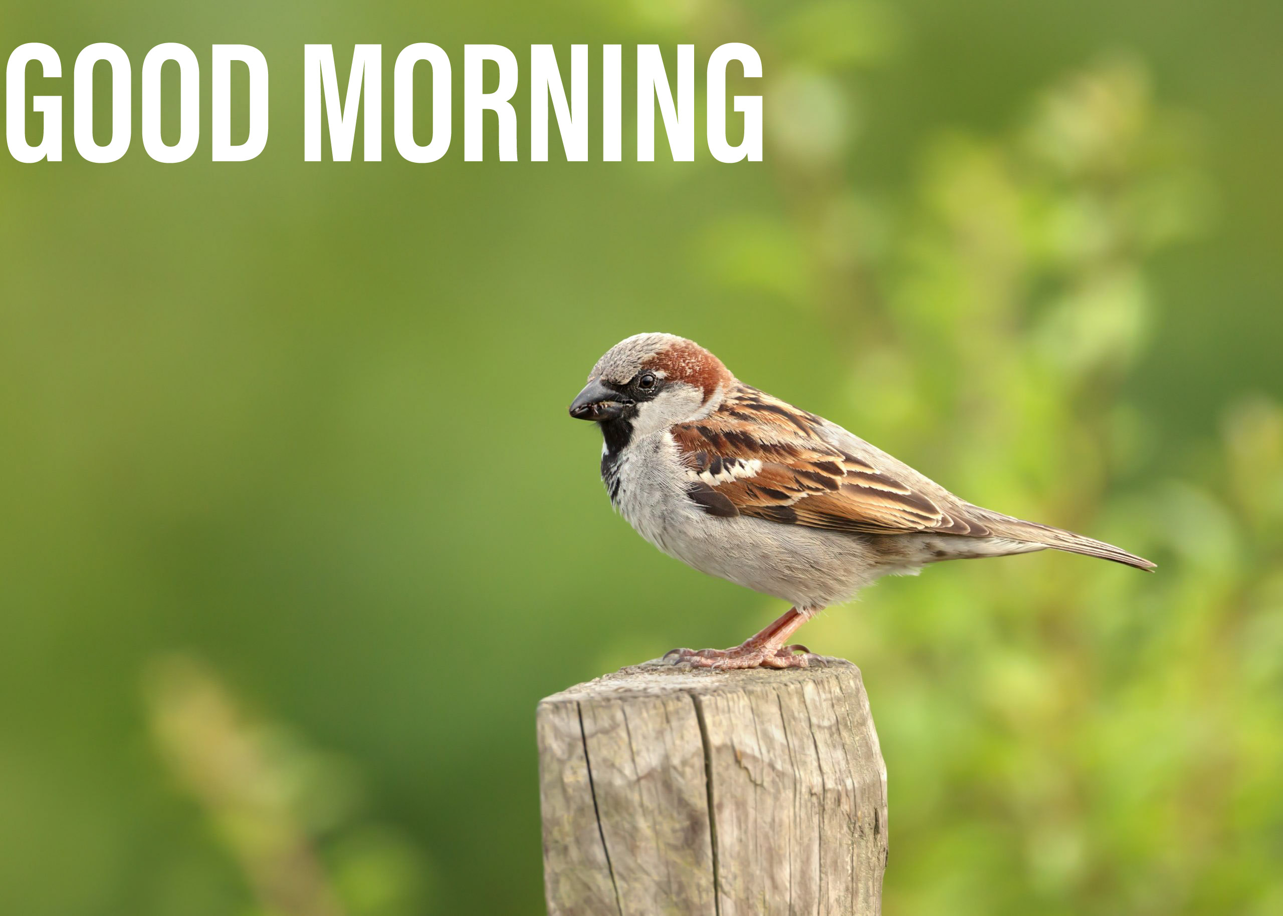 Good morning image sparrow