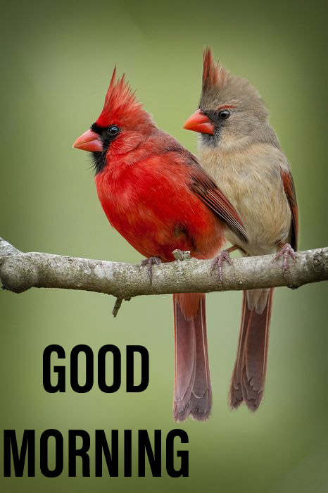Good morning wishes with red birds