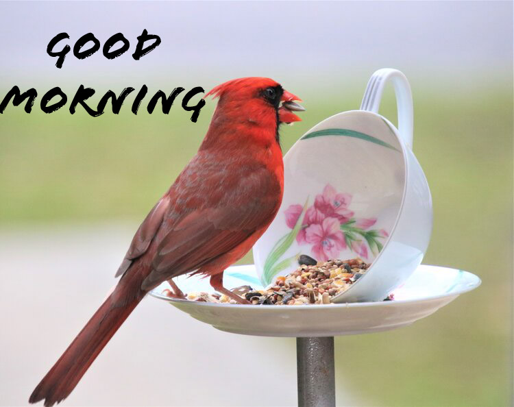Good morning with a red bird while eating